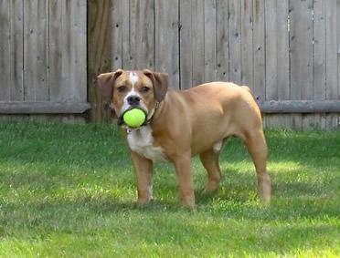 Full Grown Beabull Dogs http://www.rockinrpuppies.com/Beabull%20Bull