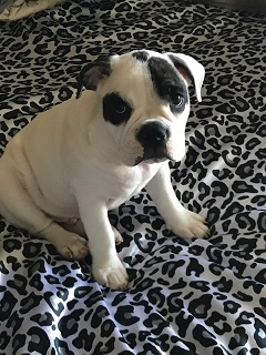 Popular Bull Chubby Adorable Dog - Minibull%20bull%20Chubby%20CF1  Pic_26939  .jpeg