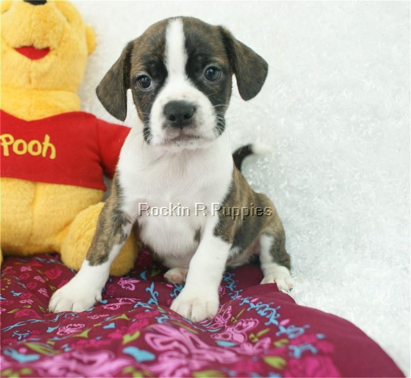 Petey Boggle Rockin R Puppies Puppy