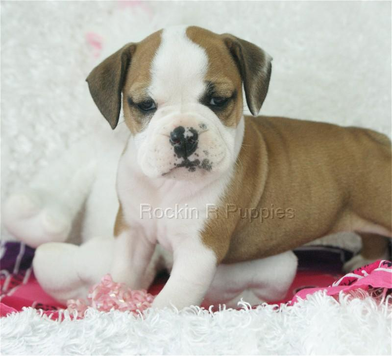 """Home » Search results for """"Beabull Puppies"""""""