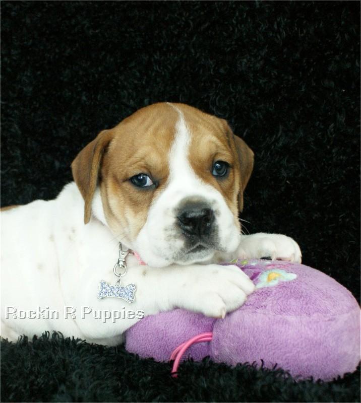 Ruby Beabull Bull: Rockin R Puppies