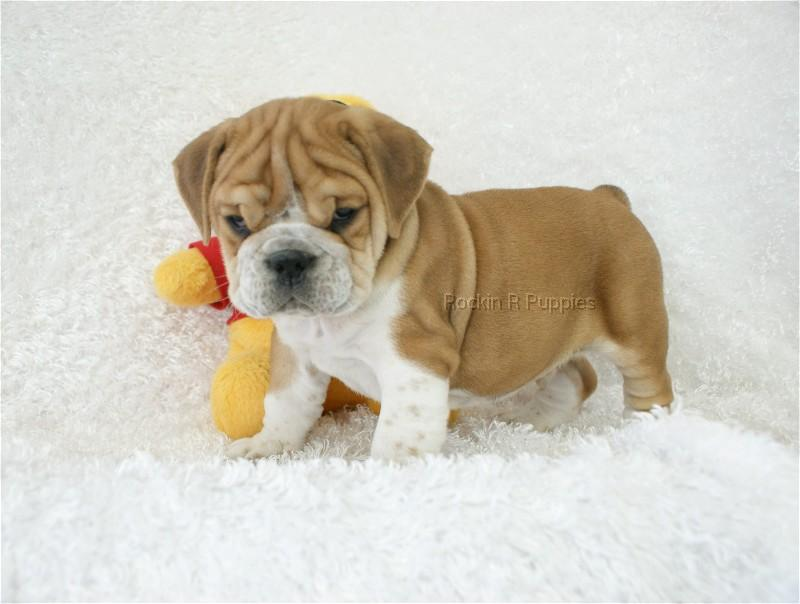 Puppy Beabull Pictures to pin on Pinterest