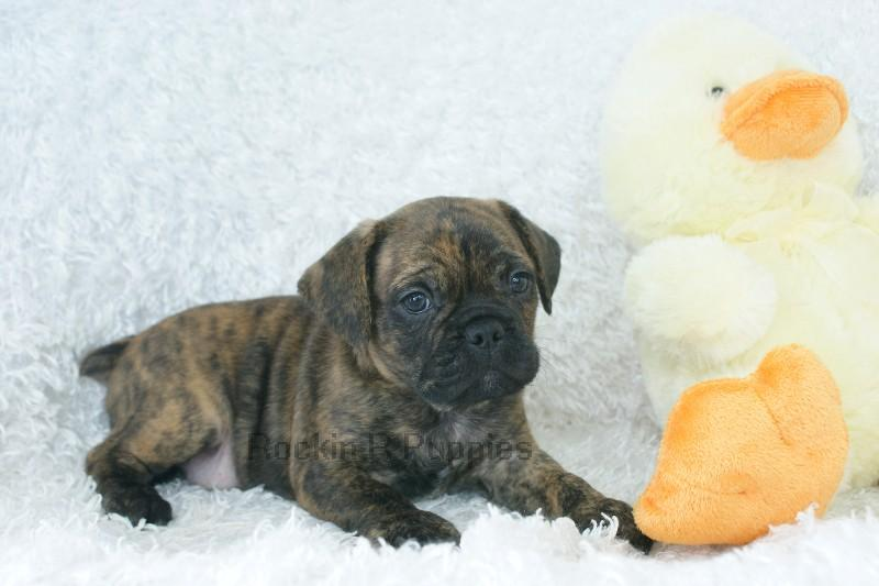 Charlie Frenchie Puggle: Rockin R Puppies