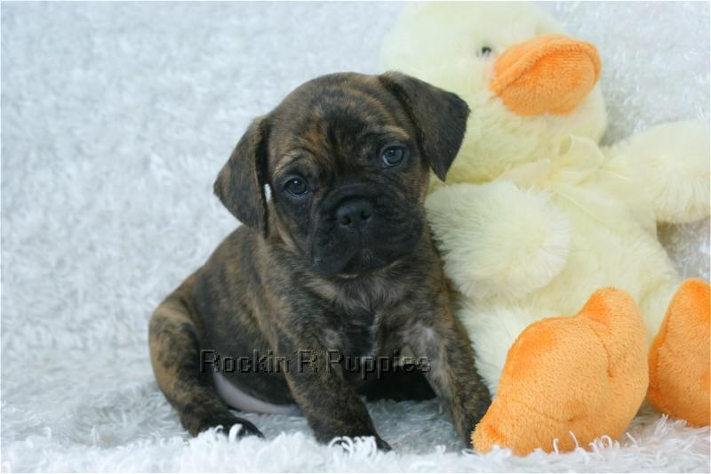 French Bulldog Puggle Mix