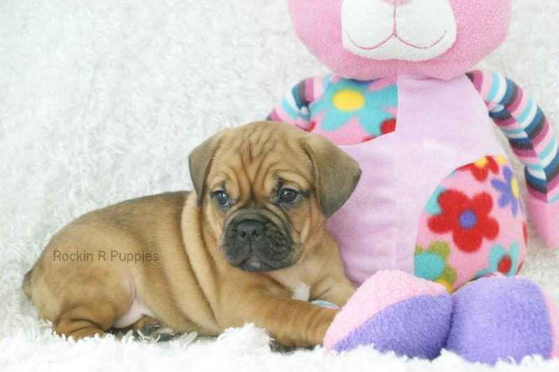 Diamond Frenchie Puggle: Rockin R Puppies