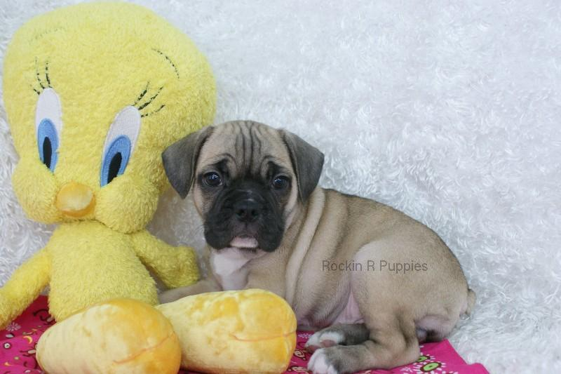 Marla Frenchie Puggle: Rockin R Puppies