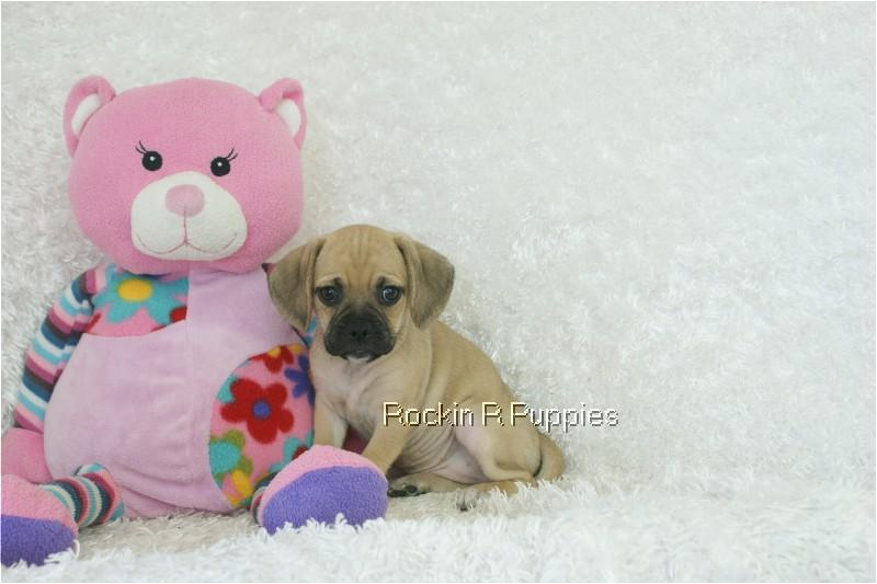 Nola Puggle: Rockin R Puppies